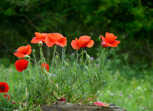 Poppies. On green plant background royalty free stock images