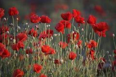Free Poppies Stock Photos - 36934973