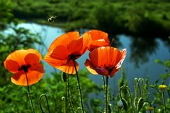 Poppies (4) Stock Photography