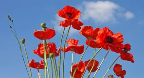 Poppies. Red poppies in the blue sky Stock Photo