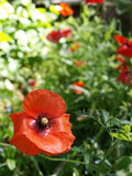 Poppies Stock Images