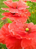 Poppies. Beautiful red popies in the green garden Stock Photography