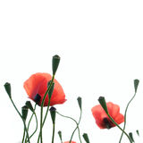 Poppies Royalty Free Stock Image