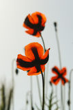 The Poppies Royalty Free Stock Images