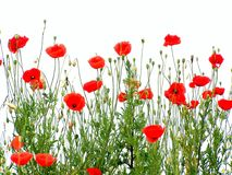 Poppies. Red poppies, isolated royalty free stock image