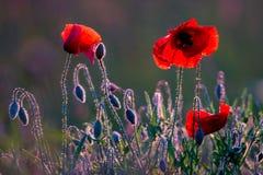 Free Poppies Stock Photo - 55422260