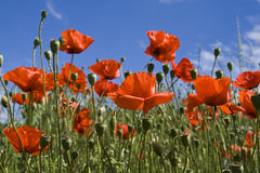 Poppies. Poppy field against blue sky Royalty Free Stock Photography