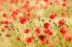 Poppies Stock Photos