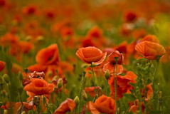 Poppies. Close up of wild poppies field stock images