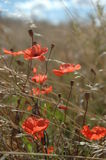 Poppies. In the meadow Royalty Free Stock Image