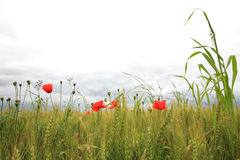 Poppies stock photography