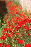 Poppies. Field of poppies in Greece royalty free stock photos