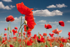 Poppies. Close-up of summer flowers Stock Images