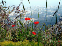 Poppies. Wild poppies growing in the mountains above Kyrenia, Cyprus Stock Images
