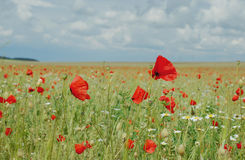 Poppies. Flower of a poppy against a bright field and the blue sky Stock Images
