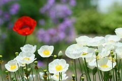 Poppies. Field of white poppies, with one red in the back Royalty Free Stock Photo