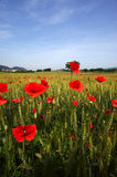 Poppies. Cazzago San Martino (Bs), Franciacorta,Lombardy,Italy,poppies in a field of wheat Stock Image