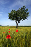 Poppies. Cazzago San Martino (Bs), Franciacorta,Lombardy,Italy,poppies and a tree in a field of wheat Stock Photo