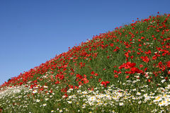 Poppies. In a filed a sunny sommer day royalty free stock images