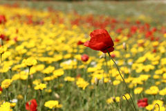 Poppies. In a filed a sunny sommer day royalty free stock photography