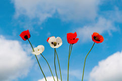 Poppies against the blue sky. With clouds Royalty Free Stock Photo