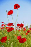 Poppies against the blue sky Stock Photos