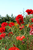 Poppies against a sky Royalty Free Stock Photos
