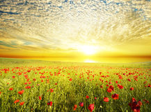 Poppies against the sunset sky Royalty Free Stock Photos