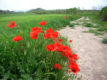 Poppies along farm road. Poppies along farm-road, red flowers at the side of road to farm, little trees, landscape, North of Spain, pollard willow Stock Photos