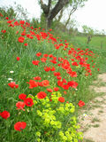 Poppies along farm road and field Royalty Free Stock Photography