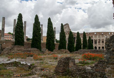 Poppies. Amongst the ruins in Rome, Italy with the colosseum in the background Stock Images