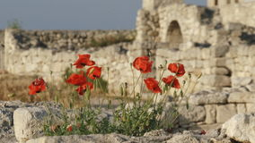 Poppies on the ancient ruins stock video