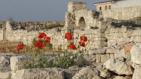 Poppies on the ancient ruins stock footage