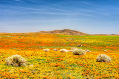 Poppies of Antelope Valley Stock Photo