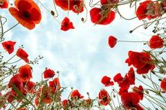 Free Poppies Around You Stock Photo - 30657480