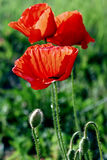Flowers of poppies-1 stock photo