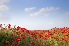 Poppies background Stock Images