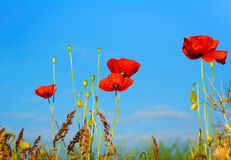 Poppies on a background of blue sky. Shallow depth of field Stock Photo