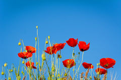 Poppies on a background of blue sky. Shallow depth of field Stock Photos