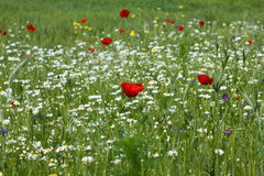 Poppies on background ox-eye Royalty Free Stock Images