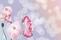 Poppies on   background. Stock Photo
