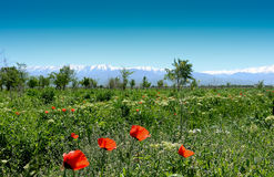 poppies on the background of snow-covered mountains Stock Image