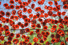 Poppies and barbed wire. Poppies and barbed wire on a blue and green background Stock Photo