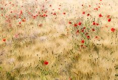 Poppies & barley Royalty Free Stock Photography