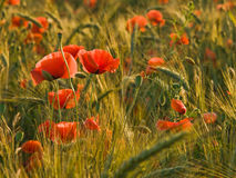 Poppies on the barley field. Photo taken against the sunlight in the summer, late afternoon Stock Photography
