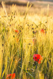 Poppies and Barley. Some poppies growing in a barley field Royalty Free Stock Photo