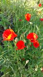 Poppies bathed in sunlight. Wild poppies growing on grass verge with sunlight playing on bright red heads bathed in natural sunlight forming reflections of stock images