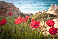 Poppies by the beach. Poppies by Elià beach in Mykonos, Greece Royalty Free Stock Photos