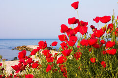 Poppies on the beach Stock Images