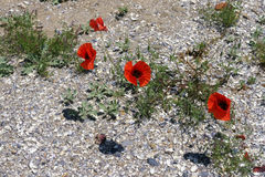 Poppies on the beach Royalty Free Stock Photo